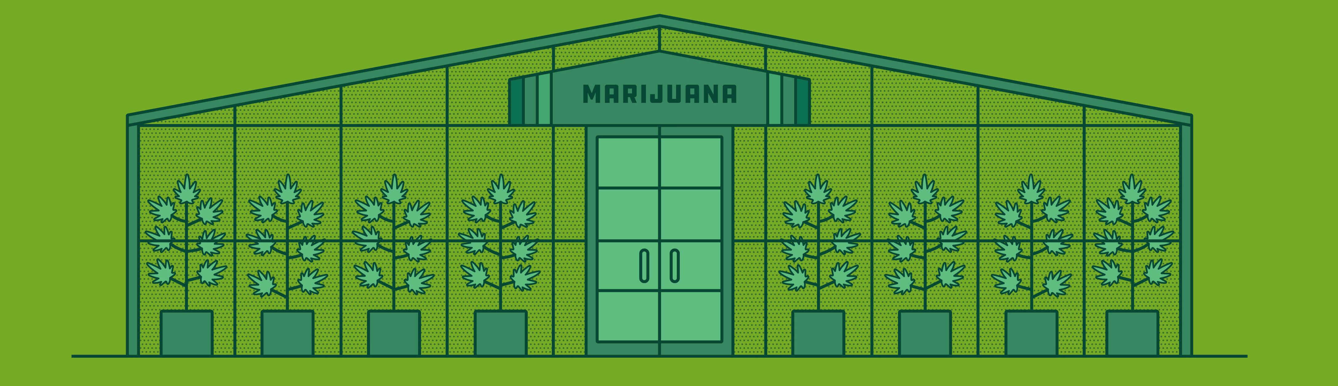 Marihuanaanbau