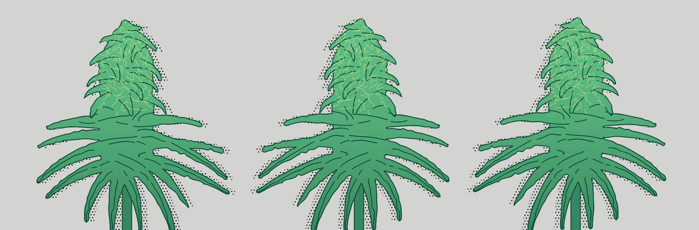 Blütezeit von Cannabis