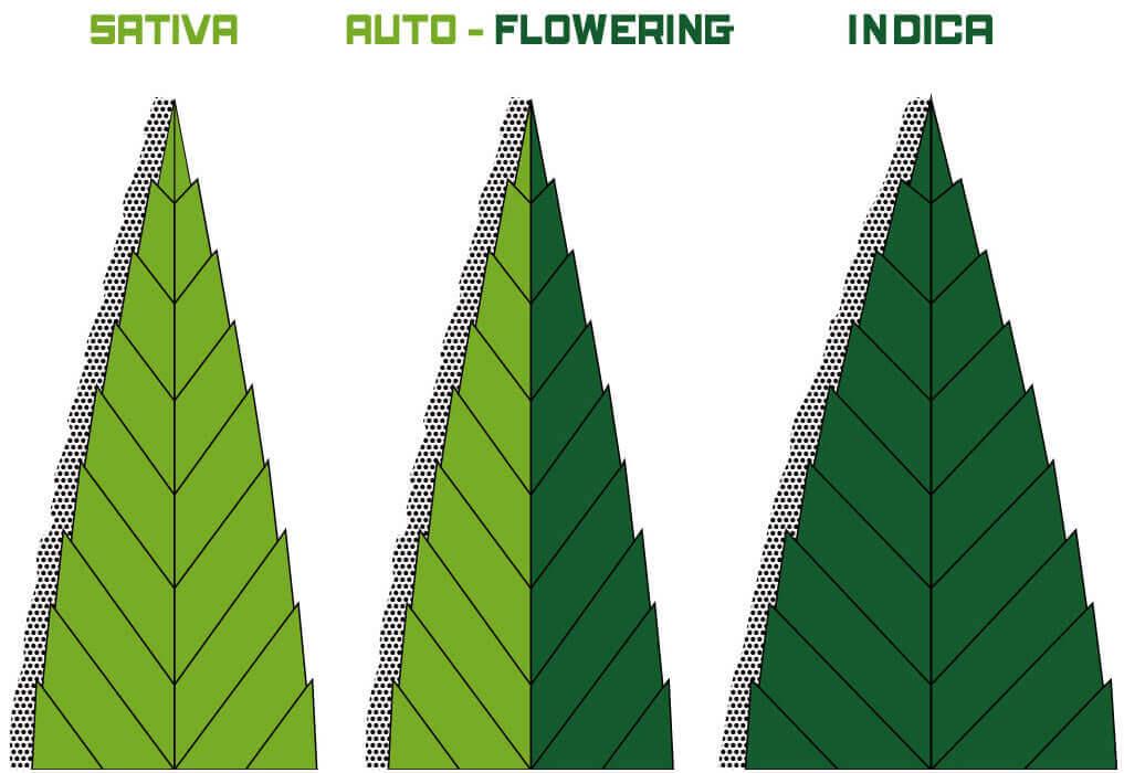 Marihuana sorten Sativa, Indica & Auto-Blühende