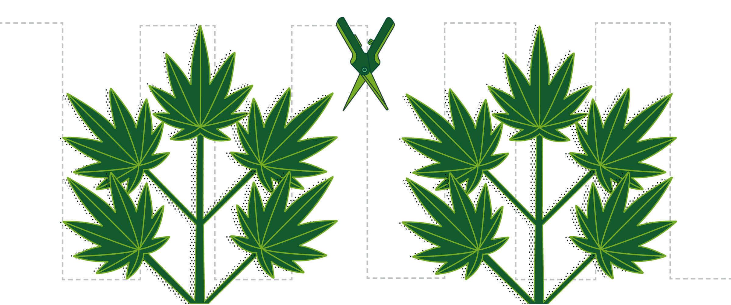 klonen von canabis pflanzen